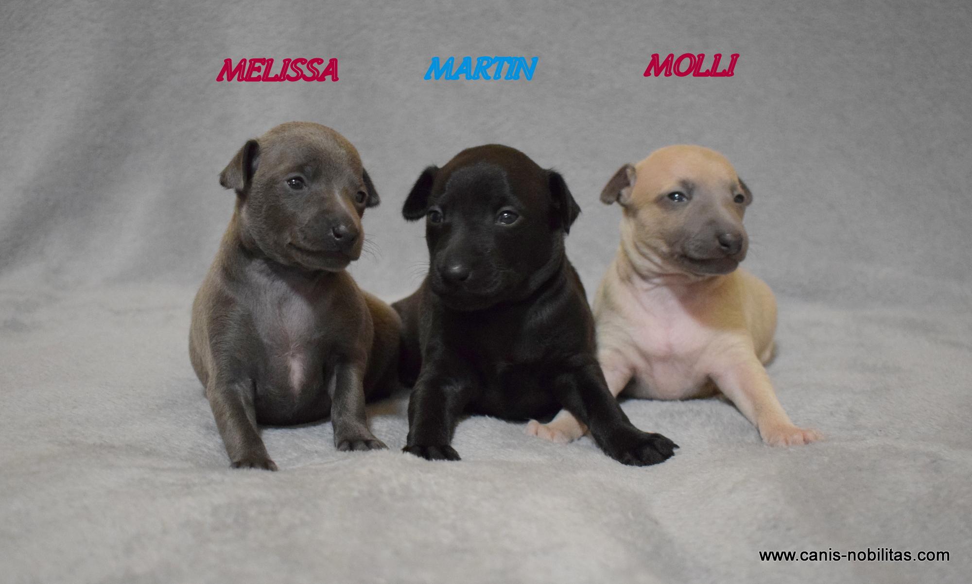 Canis Nobilitas » M» litter день рождения  02.01.2021 . 1 мальчик (чёрный) и 2 девочки (серая и изабелла ).